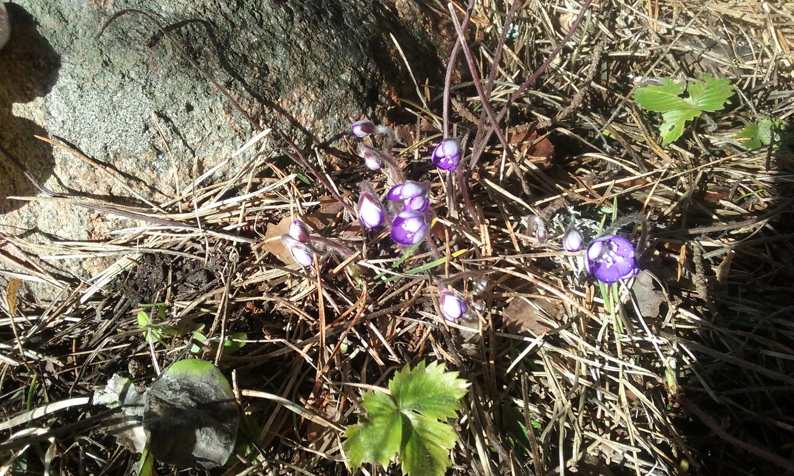 Samal ajal, kui Mandri-Eestis kühveldatakse agaralt lund, istutatakse Saaremaal juba lilli. Ilmateenistuse ilmavaatluste osakonna asejuhataja Külli Loodla ütles, et klimaatilist talve pole Saaremaal sel aastal jälle olnud. Klimaatiline talv on […]