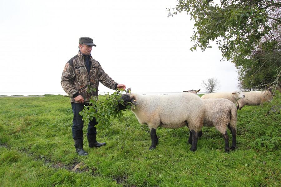 Muhu lambakasvatajatel on põhjust ärevust tunda, sest teadaolevalt esimest korda viimaste sajandite jooksul murdis hunt Muhus lamba. Kui Lalli küla lambakasvataja Priit Saartok 7. märtsil oma karjamaalt kaheaastase jäära korjuse […]