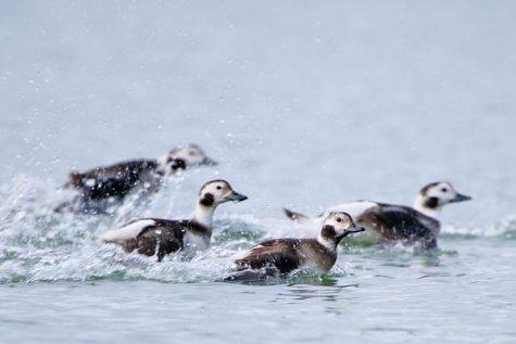 """""""Osooni"""" saate tegijatel avanes võimalus osaleda Eesti rannikuvetes toimunud arktiliste veelindude loenduslennul. Uskumatu, kuid 76 meetri kõrguselt on täiesti võimalik kiirusega 200 km/h lendavaid linde loendada, määrata nende sugu ja […]"""