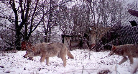 INIMESED ON LÄINUD: Hundid jalutamas Lõuna-Valgevenes Tšernobõli keelutsooni jääva Orevitši küla tänavatel.  IBTIMES.CO.UK