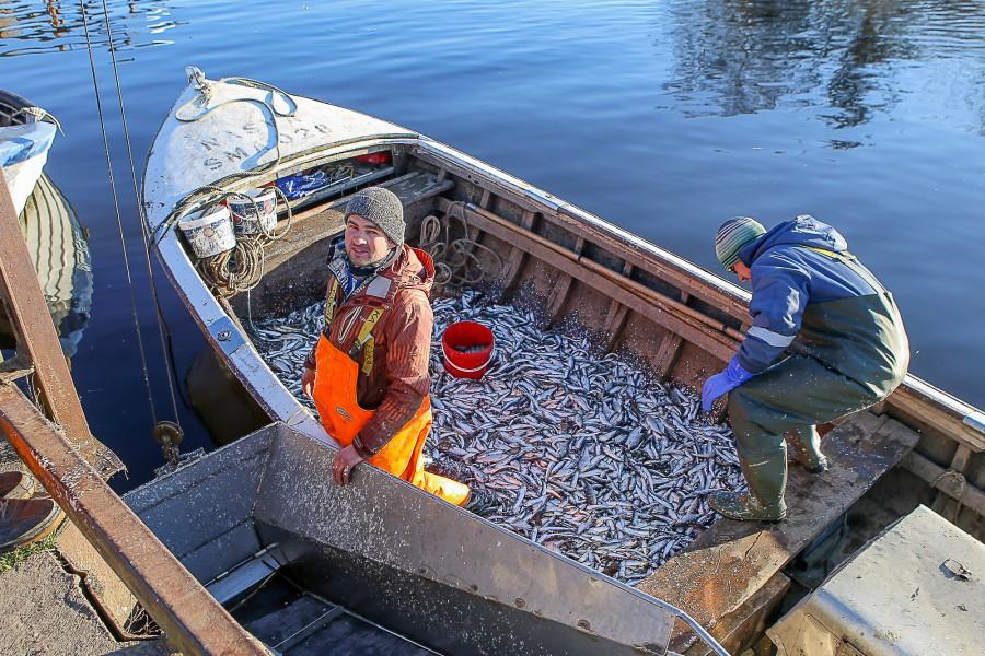 Eile hommikul tulid Nasva sadamasse taas rannakalurite räimelastis paadid. Leidus ka kalavastalisi. Räimekilo maksis täpselt euro, poes on hind tüki kallim. Pildile jäid Mairo Kaiv ja Martin Mai.