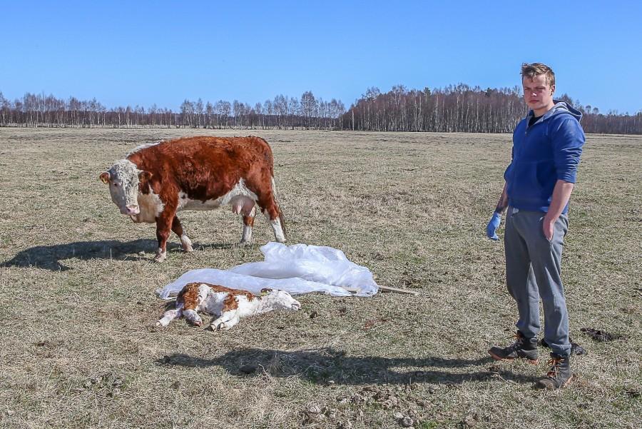 Eile varahommikul avastati, et Muhu saarel Pärase küla karjamaal on öösel vasikas maha murtud. Looma kõril olid hambajäljed. Saak oli jäänud siiski söömata, sest ilmselt tuli vasika ema appi ja […]