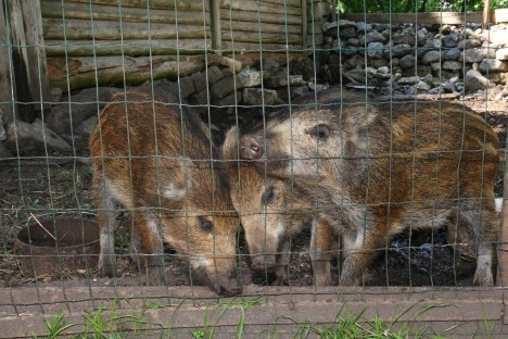 ELAVAD KA KODUDES: Metsanotsusid on Saare- ja Muhumaal peetud ka koduloomadena. Kodudes on nende pidamine kontrolli all. EGON LIGI