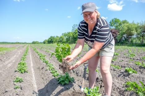 PISIKESED ALLES: Rautsi talu perenaine Jana Põri loodab varast kartulit jaanipäevaks. MAANUS MASING