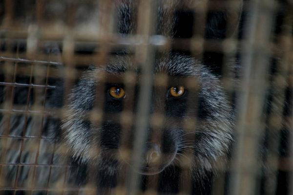 Selle nädala algul esitas Karusloomafarmide Aretusühing riigikogu maaelukomisjonile petitsiooni, millega nõutakse karusloomakasvatuse keelustamise protsessi lõpetamist. Petitsioonile kirjutasid alla ka mitmed organisatsioonid ja äriühingud. Organisatsioon Loomade Nimel on algatanud üleskutse boikoteerida […]
