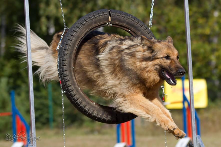 Möödunud nädalavahetusel toimus koerte agilityvõistlussarja Saaremaa Agility Käpp 2016 II võistlus. Osalejate seas oli hulganisti saarlastest koerasportlasi, kes noppisid oma lemmikutega esikohti. Tegemist oli rahvusvahelise Eesti kennelliidu aastakoerte punktiarvestusse mineva […]