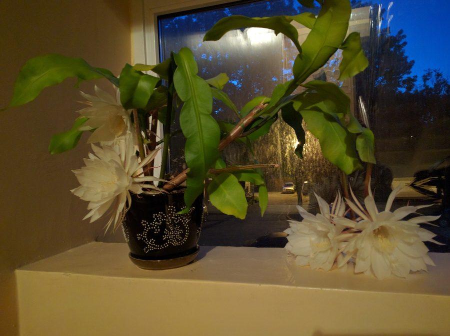 """Südaööl vastu neljapäeva puhkes Kuressaares Rohu tänava maja nr 2 trepikojas õide öökuninganna. Täpselt kell 12 oli kaktus avanud tervelt neli imekaunist kollast õit, neist suurima läbimõõt 22 cm. """"See […]"""
