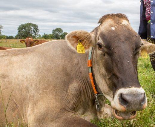 Saaremaa piimatööstus tõstab 1. septembris toorpiima hinda vähemalt kahe sendi võrra kilogrammi eest. AS-i Saaremaa Piimatööstus nõukogu esimehe Tõnu Posti sõnul otsustas nõukogu tõsta piima kokkuostuhinda praeguselt 21 sendilt 23 […]