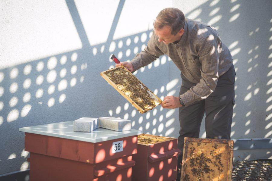 """Kuressaares asuva Georg Otsa spaahotelli (GOSPA) katusele viidud tarudes elavad mesilased käivad usinasti korjel. Kaks oma mesilastaru südasuvel GOSPA katusele kolinud mesiniku Ergo Oolupi sõnul läheb tema hoolealustel hästi. """"Käivad […]"""