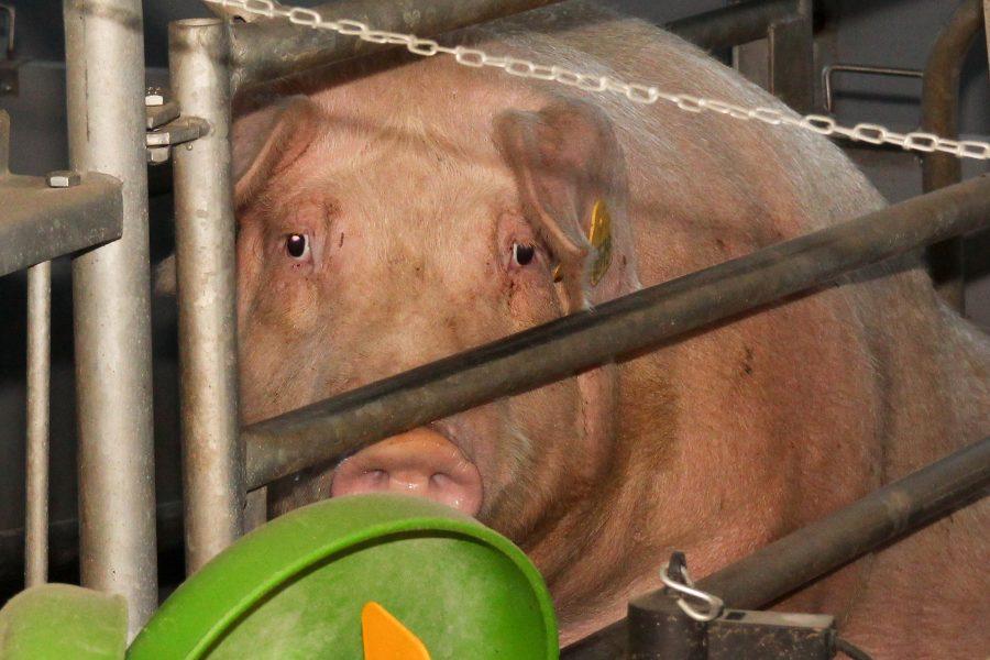 Nädal tagasi Pihtla jahialal ilmnenud sigade Aafrika katku (SAK) juhtumid, mis jäävad Kaalist vähem kui kaheksa kilomeetri kaugusele, panid sealse sigala veterinaar- ja toiduameti kõrgendatud järelevalve alla. Veterinaar- ja toiduameti […]
