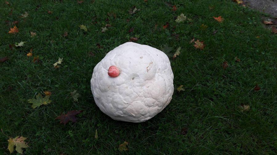 Saarte Hääle toimetusele saadetud fotol murumunast on pirakat seent kõrvutatud võrdluse mõttes õunaga. Viimane paistab kopsaka murumuna kõrval päris pisike. Foto saatnud Kristel Koovisku sõnul oli murumuna ümbermõõt umbkaudu 170 […]