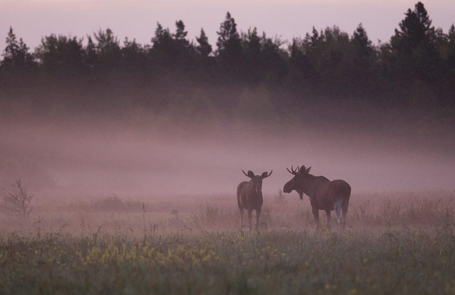 Kärla jahimeeste seltsi blogi kirjutab, et põtradel ja hirvedel on jooksuaeg alanud – loomad on soojätkamise instinkti kütkes ja selle tõttu jääb neil ka oma lähiümbruse seiramine hooletusse. Seltsi kuuluv […]