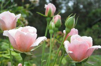 Karja küla õunaaias valmistutakse talgupäevaks, mille käigus istutatakse maha ligi 150 roosiistikut. Roosid lähevad peenardesse kindla ja omanäolise plaani järgi, moodustades 30×14 meetrisel alal labürindi, mis täishiilguse saavutab järgmiseks suveks. […]