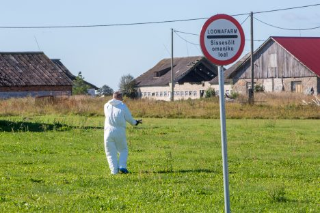 KUU KATKUST: Aafrika seakatku diagnoos kinnitati Valjala vallas Sakla külas asuvas sigalas 23. augustil. MAANUS MASING