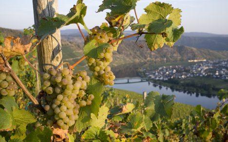 VILETS SAAK: Moseli jõe maalilises orus ja naabruses asuval Ida-Prantsusmaal oli tänavuste halbade ilmade tõttu kehv viinamarjasaak. Seetõttu on neis piirkondades toodetud veine poeriiulitel lähitulevikus mõnevõrra vähem. EN.WIKIPEDIA.COM