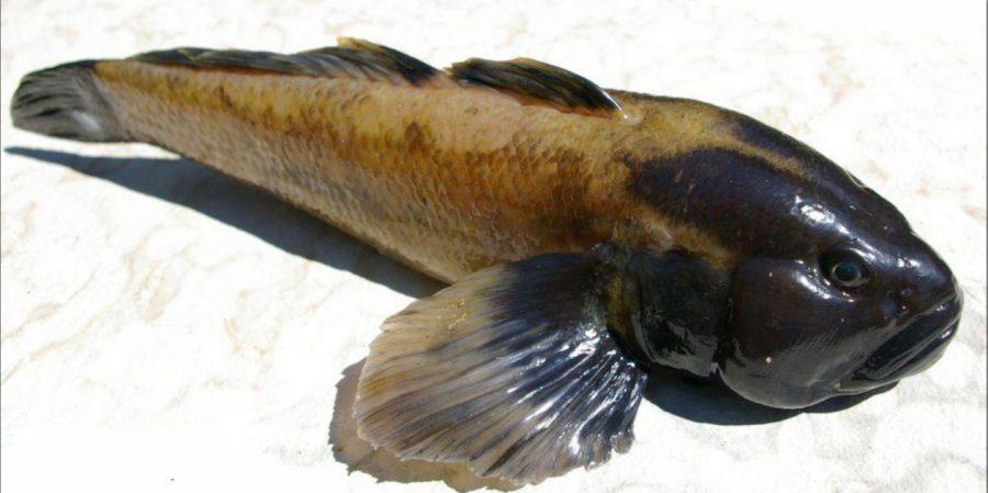Saare Fishexport leidis saarlaste jaoks pigem tüütu ning inetu väljanägemise ja pentsiku nimega kalale ümarmudilale turgu Balkanimaades. Siiamaani on kõik kaluritelt saadud kalakogused edukalt maha müüdud. Eesti jaoks võrdlemisi uus […]