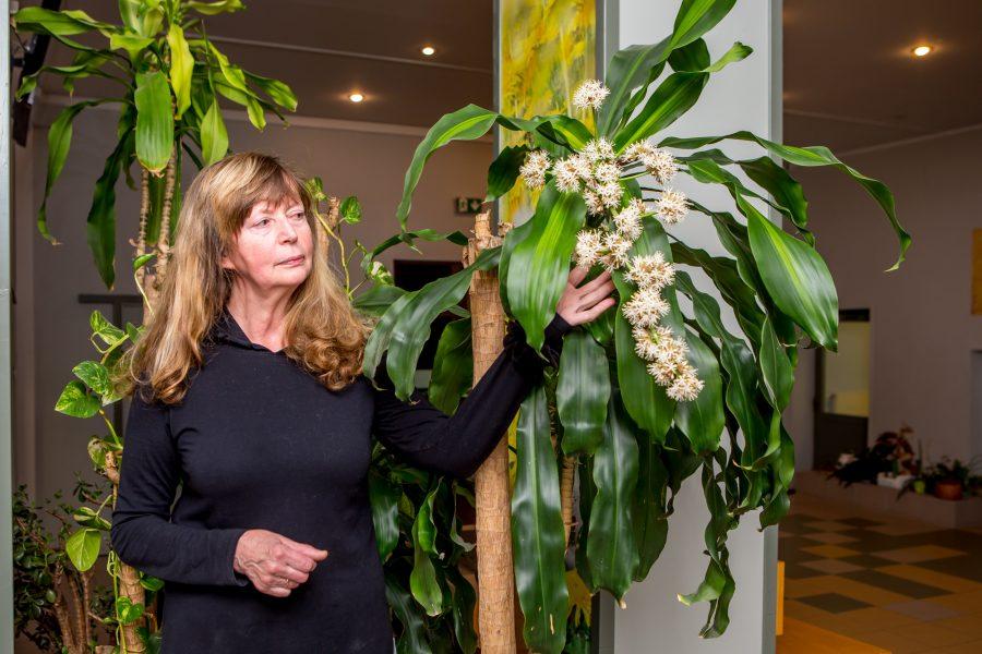 """Saaremaa ühisgümnaasiumi fuajees saab näha haruldast vaatepilti – õitsvat draakonipuud. """"See, et draakonipuu õitsema hakkab, on haruldane sündmus,"""" ütles koolimajas taimede eest hoolitsev Helve Eerik. Draakonipuu kohta on toalillede kasvatamist […]"""