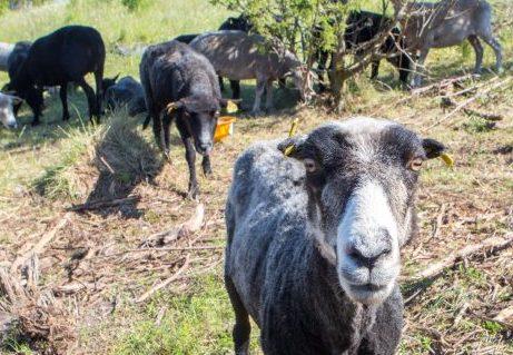 Hellamaa külamajas toimus esmaspäeval keskkonnaameti eestvedamisel lambavilla väärindamise nõupidamine, kus räägiti villa kasutamisest ehitusmaterjalina ja pakuti välja idee, et jäätmejaamade juurde võiks rajada lambavilla kogumispunktid. Lammaste arv on Eesti saartel […]