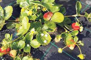 Maitsvad maasikad ka sügisel