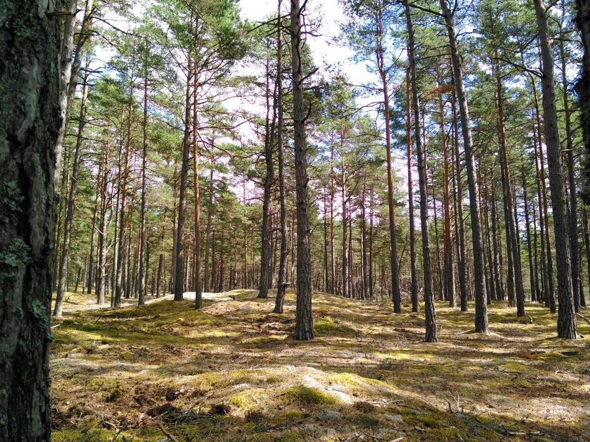 Agressiivne müügisurve, kunstlikult allaviidud hinnad ja puidu eest saamata jäänud raha – kõik see on paraku omane ka Saaremaa metsaärile. Läänemaa metsaühistu hoiatas möödunud nädalal inimesi aktiviseerunud agressiivsete helistajate eest, […]