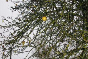 Õuna puu
