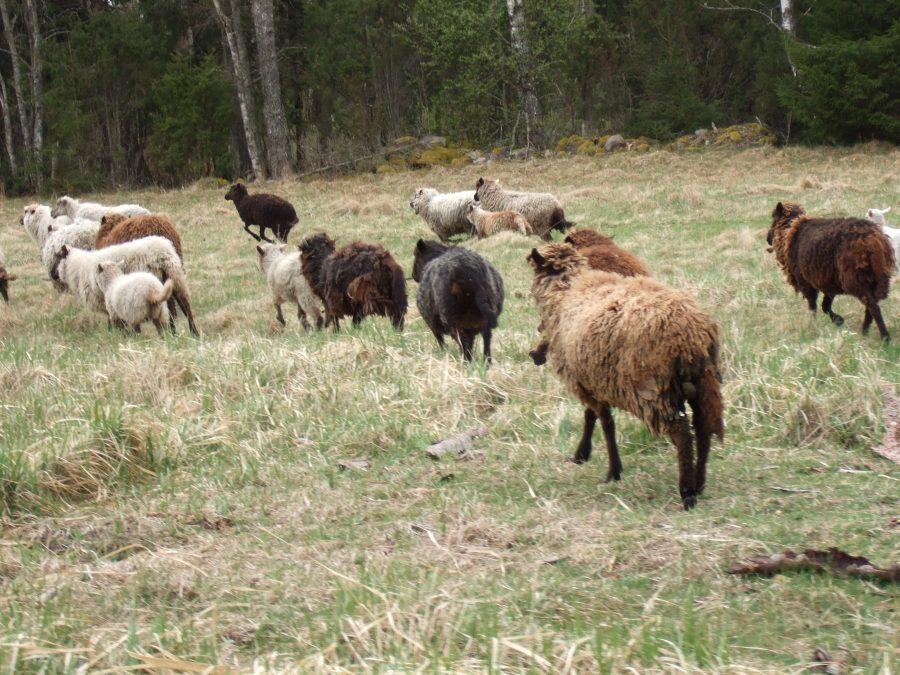 Koki küla loomapidaja Tõnu Angeri lambakari ei ole ametlikult veel Lääne-Saare valla hooldamisele võetud. Vallavanem Tiina Luks ütles, et väga konkreetselt loomade edasisest käekäigust praegu rääkida ei saa, kuna menetlus […]