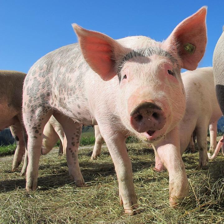 Juba pea kaks aastat Eesti seakasvatajate majapidamisi laastanud sigade Aafrika katk on viinud selleni, et Eesti tootjad ei suuda enam varustada kohalikku tarbijat vajaliku koguse sealihaga. Sealihal on eestlaste toidulaual […]
