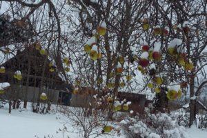 Õunu veel jagub